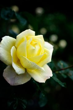 Yellow roses...my mothers favorite...
