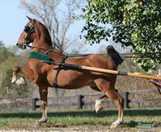 Hackney Horse | ... /AAAAAAAAADc/ZqA8aQjdqGw/s1600/Hackney%2BPony%2Bwith%2BHarness.jpg
