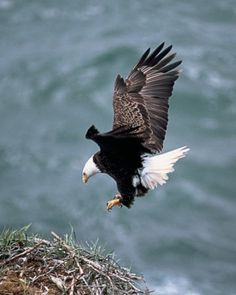 """He that hope upon the Lord shall mount up on wings as eagles, shall run and not be weary, shall walk and not faint"" ~ Isaiah (KJV) The Eagles, Bald Eagles, Jackson Hole Wy, Eagle Wallpaper, Float Trip, Eagle Wings, Golden Eagle, Salmon Fishing, Birds Of Prey"