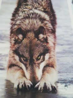 This wolf is ready to play. A domesticated dog will pose the same stance as this wolf when wanting to play Wolf Love, Bad Wolf, Wolf Spirit, My Spirit Animal, Beautiful Creatures, Animals Beautiful, Tier Wolf, Animals And Pets, Cute Animals
