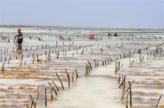Raccolta di alghe, affascinante e suggestiva attrazione