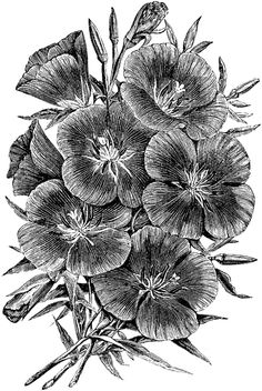 Oenthera Lady Albemarle has distinct, showy crimson flowers. It is a dwarf variety. Vintage Botanical Prints, Botanical Art, Biro Drawing, Landscape Pencil Drawings, Evening Primrose, Cold Case, Flower Paintings, Pen Art, Digi Stamps