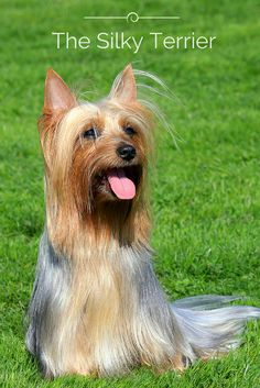 Early on the Silky Terrier had an attractive tan and steel blue coloration, which was crossed with blue and tan Australian Terriers to enhance its color of the coat while retaining its robust form. Click the photo above to find out more about this beautiful breed!