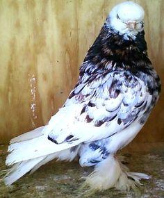 Scandaroon-  English Tumbler Pigeon