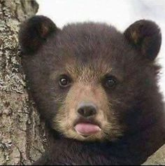 I wonder why God made something that can eat us so cute? I wonder why God made something that can eat us so cute? Bear Cubs, Panda Bear, Polar Bear, Bears, Bear Pictures, Funny Animal Pictures, Nature Animals, Animals And Pets, Cute Baby Animals