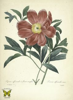 European peony by P.J. Redouté (1827-1833) | From the botanical illustration collection of Swallowtail Garden Seeds. This image is in the public domain. Right click to download. Use as you choose.