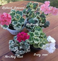 Geranium Plant, Geranium Flower, Malva, Colorful Garden, Garden Projects, Indoor Garden, Houseplants, Container Gardening, Beautiful Flowers