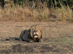 The lion dynamics in Kafue's Busanga Plains are as fraught as ever, particularly now, with the demise of one of the dominant pride males, Nervous, in a legal hunt last month. Shumba guide Isaac Kalio has more… Castor And Pollux, Lion Pride, Male Lion, Predator, Cubs, Wilderness, Safari, Animals, Animais