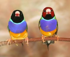 1red & 1black face violet breast starw belly male gouldians finches