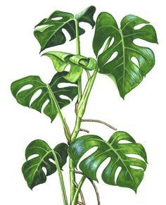 monstera -my fav Plant Painting, Plant Drawing, Plant Art, Tropical Art, Tropical Leaves, Tropical Plants, Images Noêl Vintages, Figurative Kunst, Plant Illustration