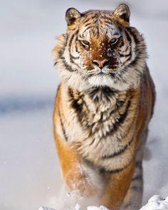 Amur (Siberian) Tiger by © suhaderbent