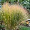 Switchgrass- screen the rainbarrel?