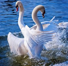 Swans ... beautiful!!