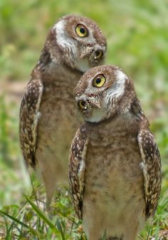 Burrowing Owls (by Michael Levine)