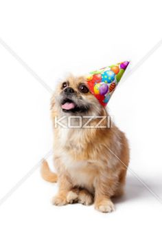colorful birthday hat on puppy - Puppy wearing balloon printed birthday hat