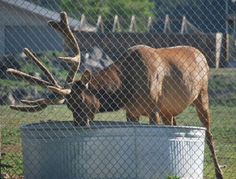 Zoo Officials Notice Elk Acting Weird. Then They Realize What He's Really Doing…