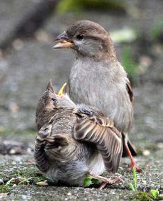 ~House Sparrow ~