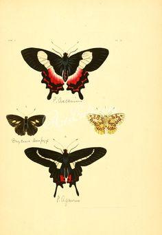002-eurypodius, hymenosoma      ...