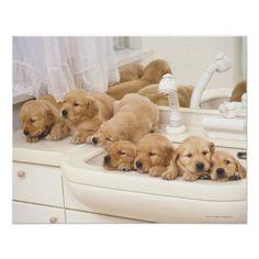 I want a golden retriever puppy :) Best dogs ever!