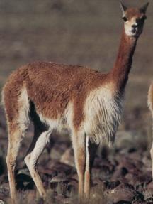 PRODUCTO: La Cordillera de los Andes tiene muchos animales diferentes. Por ejemplo, la Vicuña vive en las montañas y es una miembre de la familia camello.