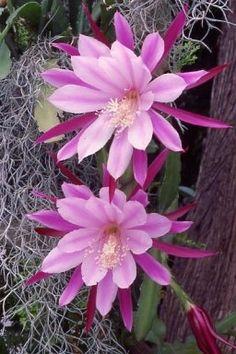 Los Epiphyllum y sus variados colores