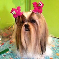 I'am borling my mom #mimi_shihtzu #memie_shampoo #pet #petlove #petthailand #puppystagrams #instadog #instapet #instapuppy #InstaShihTzu #shihtzu #shihtzulover #shihtzuthailand #shihtzusofinstagramuse #dog #dogthailand