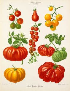A chromolithograph plate of Tomato varieties taken from the Album Benary. The Album contains 28 colour plates of vegetable varieties by Ernst Benary which are named in the accompanying page in German, English, French and Russian. Creator: Benary, Ernst (1819-1893). Date: 1879