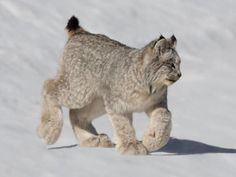 Canada Lynx (Lynx canadensis) is a medium-sized cat characterized by its long ear tufts, flared facial ruff, and short, bobbed tail with a completely black tip Big Cats, Cats And Kittens, Cute Cats, Animals And Pets, Baby Animals, Cute Animals, Wild Animals, Beautiful Cats, Animals Beautiful