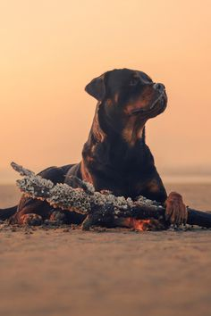 Hera's time by Vasilis Ramiotis Rottweiler Love, Doberman Love, Animals And Pets, Baby Animals, Cute Animals, Dog Background, Search And Rescue Dogs, Dogs Of The World, Beautiful Dogs
