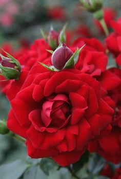 """Amadeus"" ~ a very large flowering climbing rose. Red rose with a mild fragrance."