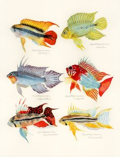 genus Apistogramma (アピストグラマ genus Apistogramma: uonofu 魚の譜から)