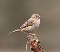 female house sparrow Female House Sparrow, Sparrow Bird, Backyard Birds, Bird Pictures, Little Birds, Bird Species, Wild Birds, Bird Watching, Bird Feathers