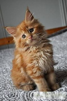 Cute maine coon kitten                                                                                                                                                     More
