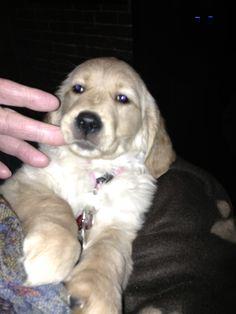 Golden Retreiver Puppy Mia's first night home