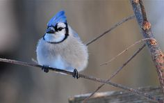 Blue Jay on a cold January morning (by ~ Nature's Gifts Captured ~)