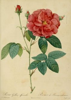 Pierre Redoute, Vintage Botanical Rose Print on Good Quality Art Paper, Rosa Gallica Officinalis Rose Illustration, Rose Vintage, Vintage Flowers, Vintage Botanical Prints, Botanical Drawings, Botanical Flowers, Botanical Art, Rosa Gallica Officinalis, Sibylla Merian