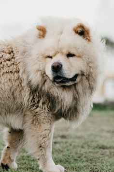 Chow Chow Temperament & Socialization Tips - Pet Lovers Nigeria Chow Chow Negro, Akita, Perros Chow Chow, Puppy Stages, What Kind Of Dog, Train Up A Child, Buy A Dog, Companion Dog, Bow Wow