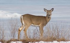 Daily Cute:  Deer Gets Rescued from a Frozen Lake