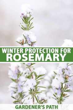 If you're growing rosemary, you might be wondering what to do when the temperatures drop. Learn how to protect and care for this herb in the winter months. Herb Garden Design, Diy Herb Garden, Cottage Garden Design, Edible Garden, Garden Ideas, Cottage Gardens, Garden Crafts, Garden Projects, Rosemary Garden