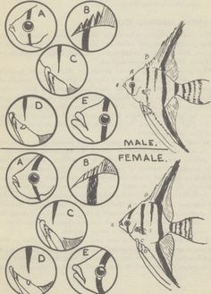 Angel fish male female difference Sexing the angelfish and male female difference