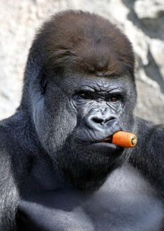 """pleatedjeans: """" This gorilla looks like he wants pictures of Spiderman on his desk by noon [x] """""""