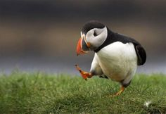 Puffin learning to walk