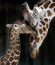 Maman et bébé girafe
