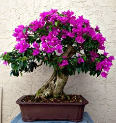 """Bonsai is a form of Art that originated in Japan. The literal meaning of Bonsai is """"tree in a pot"""". Bonsai looks like so complex but many did not know that Bonsai is so easy to make. With lot of pa… Bonsai Tree Care, Bonsai Tree Types, Indoor Bonsai Tree, Bonsai Plants, Bonsai Garden, Bonsai Trees, Succulents Garden, Cactus Plants, Plantas Bonsai"""