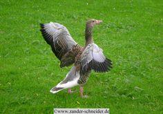 Wildgans /wild goose Foto: (c)www.zander-schneider.de