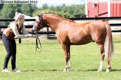 Welsh Pony (section B) - stallion Paddock Sundance