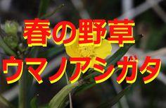 【富山散策】 春の野草 「ウマノアシガタ」
