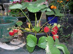 morangueiro em vaso carregado de fruta