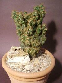 Cereus peruvianus fma. monstruosa