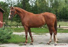 Malopolski horse.